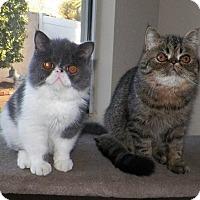 Adopt A Pet :: Eli - Beverly Hills, CA