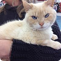 Adopt A Pet :: Cayman  lap kitty - Sterling Hgts, MI