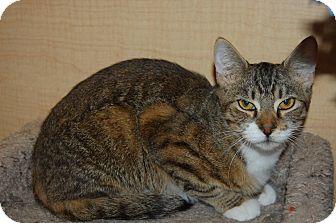Domestic Shorthair Kitten for adoption in Whittier, California - Faith