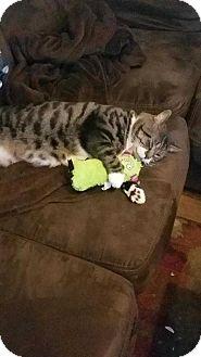 Domestic Shorthair Cat for adoption in Dawson, Georgia - Tiger