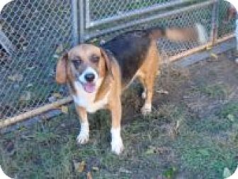 Beagle Mix Dog for adoption in Dumfries, Virginia - Daisy ll