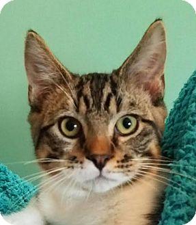 Domestic Shorthair Kitten for adoption in Colfax, Iowa - Astro