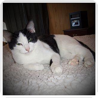 Domestic Shorthair Cat for adoption in Medford, Wisconsin - KULLEN