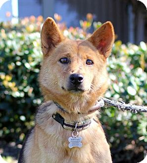 Jindo/German Shepherd Dog Mix Dog for adoption in San Diego, California - Judi