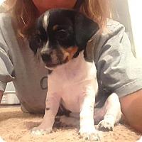 Adopt A Pet :: Alinta - Westminster, CO