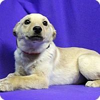 Adopt A Pet :: CINDER - Westminster, CO