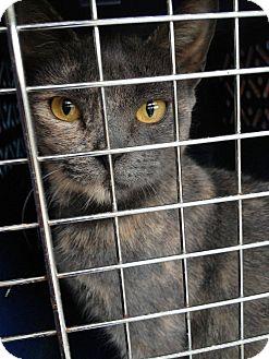 Manx Kitten for adoption in bridgeport, Connecticut - Pixie
