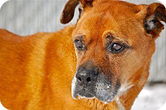 Boxer Mix Dog for adoption in Meridian, Idaho - Maverick