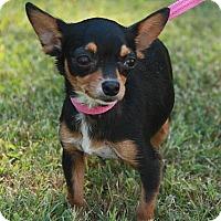 Adopt A Pet :: Chaquita - Brattleboro, VT