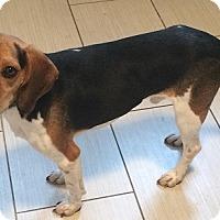 Adopt A Pet :: Snoopy - Hamilton, ON