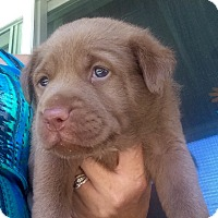 Adopt A Pet :: Snickers - Long Beach, CA