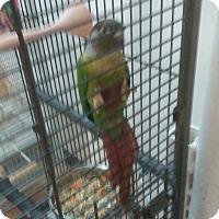 Adopt A Pet :: Perky - Villa Park, IL