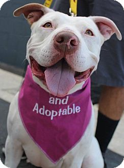 American Staffordshire Terrier Mix Dog for adoption in Los Angeles, California - Molly