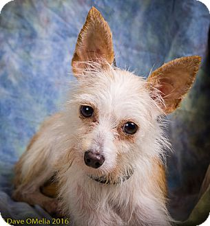 Yorkie, Yorkshire Terrier/Chihuahua Mix Dog for adoption in Anna, Illinois - KAI