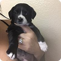 Adopt A Pet :: Dasher - Brea, CA