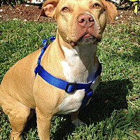 Labrador Retriever/American Staffordshire Terrier Mix Dog for adoption in Hollywood, Florida - Penny