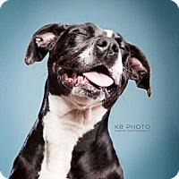 Staffordshire Bull Terrier/Labrador Retriever Mix Dog for adoption in Huntsville, Alabama - Cora