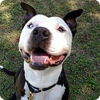 Adopt A Pet :: Basil - Austin, TX
