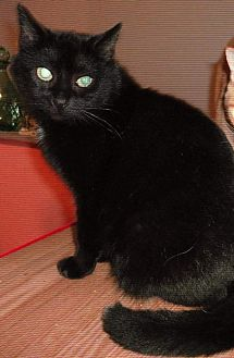 Bombay Cat for adoption in brewerton, New York - robyn