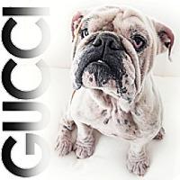 Adopt A Pet :: Gucci - Santa Ana, CA