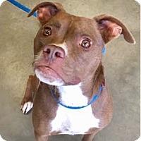 Adopt A Pet :: LILO-URGENT - CRANSTON, RI
