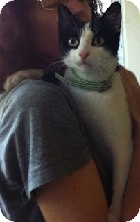 Domestic Shorthair Cat for adoption in Chicago, Illinois - Juno