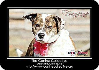 Boxer/Labrador Retriever Mix Dog for adoption in Delaware, Ohio - Francine