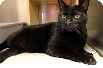 Domestic Shorthair Cat for adoption in Bellevue, Washington - Issa