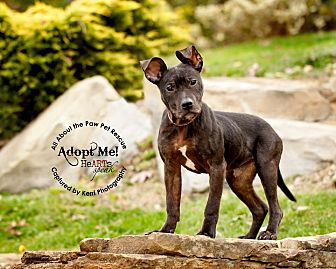 Pit Bull Terrier Mix Dog for adoption in Mansfield, Ohio - Joey