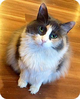 Domestic Longhair Cat for adoption in Harrison, New York - Starburst