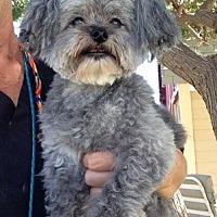 Adopt A Pet :: Scruffy - Temecula, CA