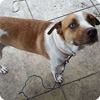 Adopt A Pet :: Daisy LS - Schertz, TX