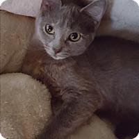 Adopt A Pet :: Indigo (adoption pending) - Richmond, VA