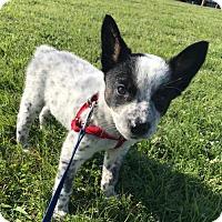 Adopt A Pet :: Boomerang - Dallas, TX
