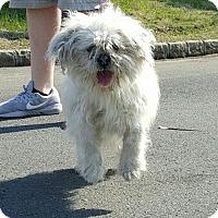 Adopt A Pet :: Shakira - Perth Amboy, NJ