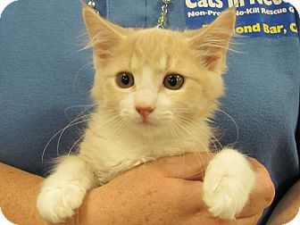 Domestic Mediumhair Kitten for adoption in Diamond Bar, California - LEXY