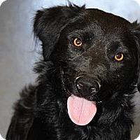 Adopt A Pet :: Siri - Denver, CO