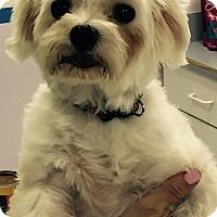 Adopt A Pet :: Bella - Scottsdale, AZ