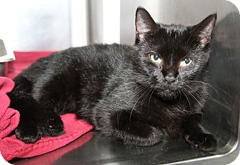 Colorpoint Shorthair Cat for adoption in Marietta, Ohio - Katie Purry (Spayed)