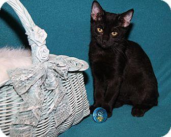 Domestic Shorthair Cat for adoption in Marietta, Ohio - Oscar (Neutered)
