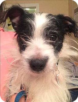 Terrier (Unknown Type, Small)/Jack Russell Terrier Mix Dog for adoption in Encino, California - Vader