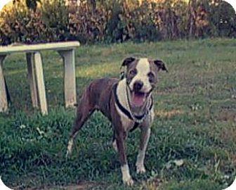 Pit Bull Terrier Dog for adoption in Phoenix, Arizona - Bruno