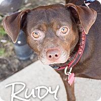 Beagle/Labrador Retriever Mix Dog for adoption in DFW, Texas - Rudy