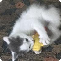 Adopt A Pet :: Rigatoni - Herndon, VA