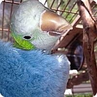Adopt A Pet :: Schmutzy - Punta Gorda, FL