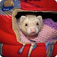 Adopt A Pet :: Niko - Chantilly, VA