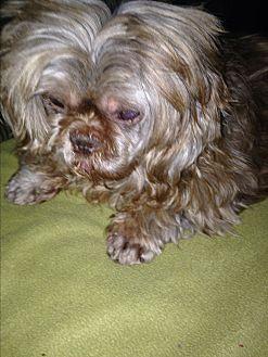 Shih Tzu Dog for adoption in Butler, Ohio - Ruby