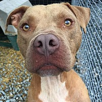 Pit Bull Terrier Mix Dog for adoption in Thomasville, North Carolina - Rudy