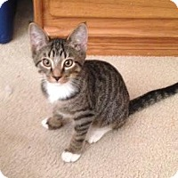 Domestic Shorthair Cat for adoption in Alamo, California - Loki