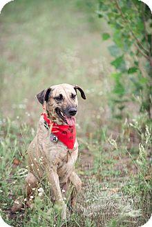 Shepherd (Unknown Type)/Whippet Mix Dog for adoption in King City, Ontario - Beni